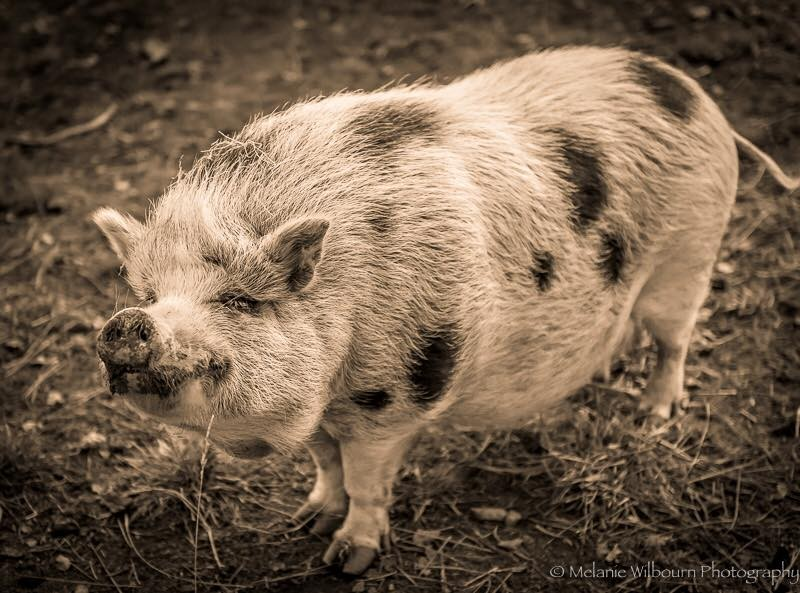 pig-black-and-white1-800x593