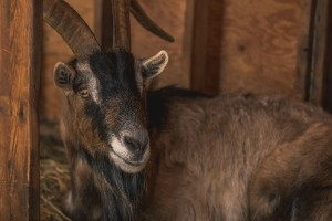 goat in barn1 1200x800